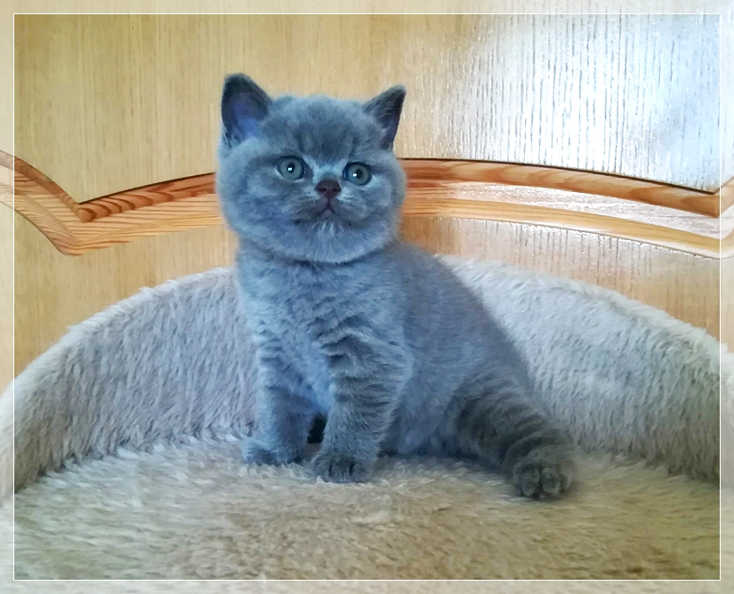 Kittens | Buy British Kitten | British Rainbow*UA Cattery